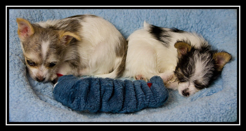 Darla and Spanky; Malchi puppies...