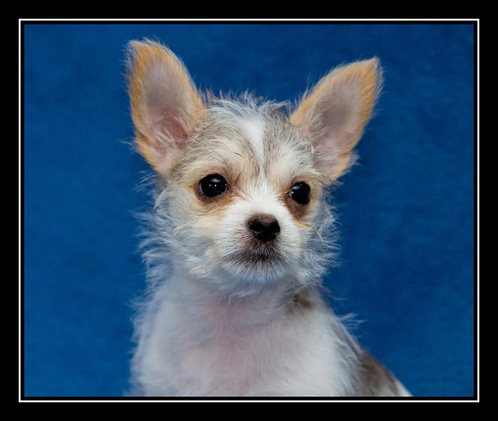 Spanky; Malchi puppy...