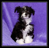 Molly-Moo; Malchi puppy...