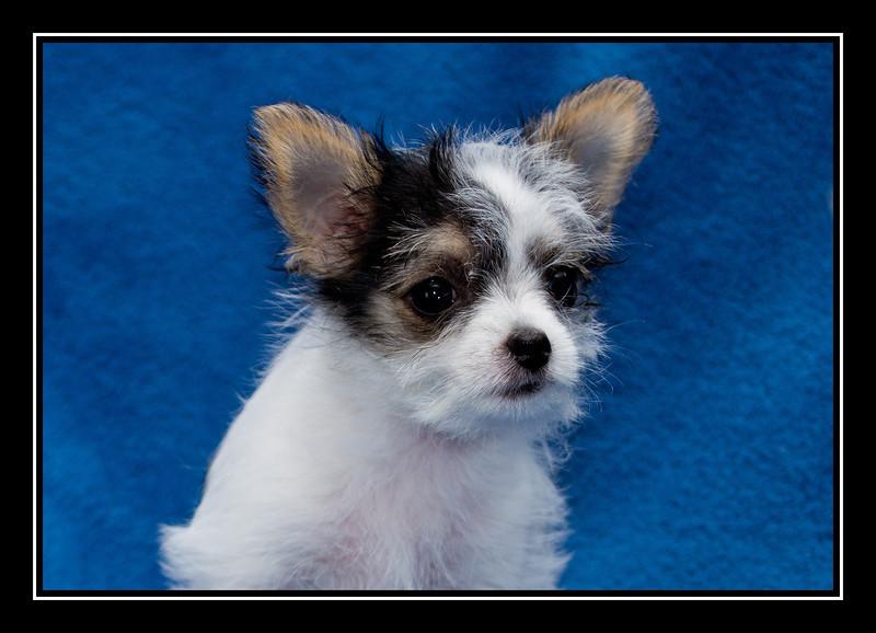 Darla; Malchi puppy...