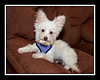 Betty Rabbit... she was adopted with Peli.  We think that Betty s a West Highland Terrier/Maltese mix which accounts for her non-Maltese looking ears.
