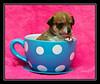 Peanut Butter, Malchi Puppy...