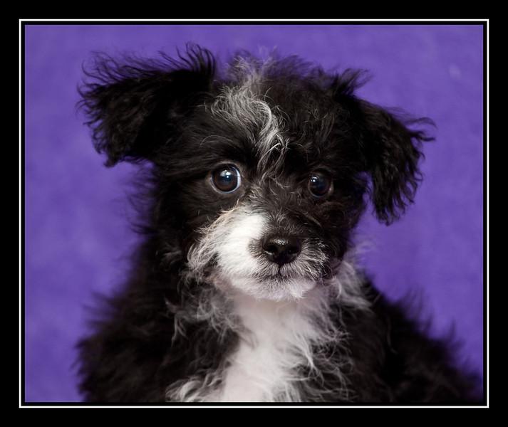 Molly-Moo; Malchi puppy...