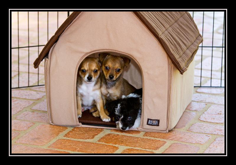 Malchi puppies...