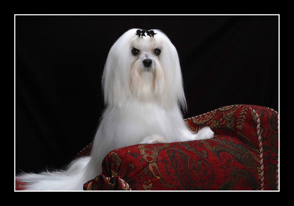IMAGE: https://photos.smugmug.com/Pets/MALTESE/i-B8L7Qz7/0/3b0e1a53/XL/JPEG%20Joey%20framed%20001-XL.jpg