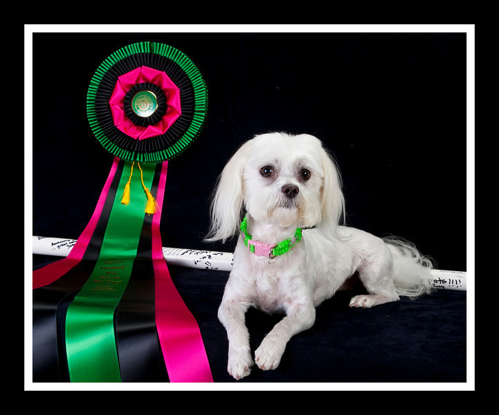 Sara was the first female Maltese MACH agility champion....  The signed PVC pipe is a memento of that feat. as is,of course the ribbon...