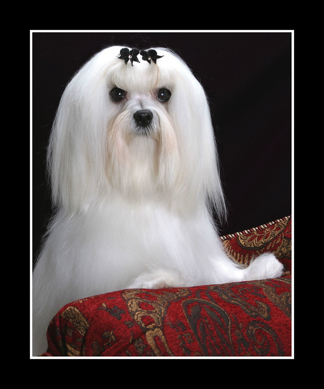 IMAGE: https://photos.smugmug.com/Pets/MALTESE/i-XQqpzN3/0/223b4e04/XL/JPEG%20Joey%20Framed%20004-XL.jpg