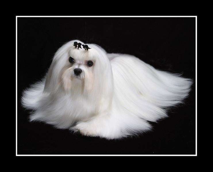 IMAGE: http://rpcrowe.smugmug.com/Pets/MALTESE/i-wSSqFcG/0/L/JPEG%20Joey%20retouched%20002-L.jpg