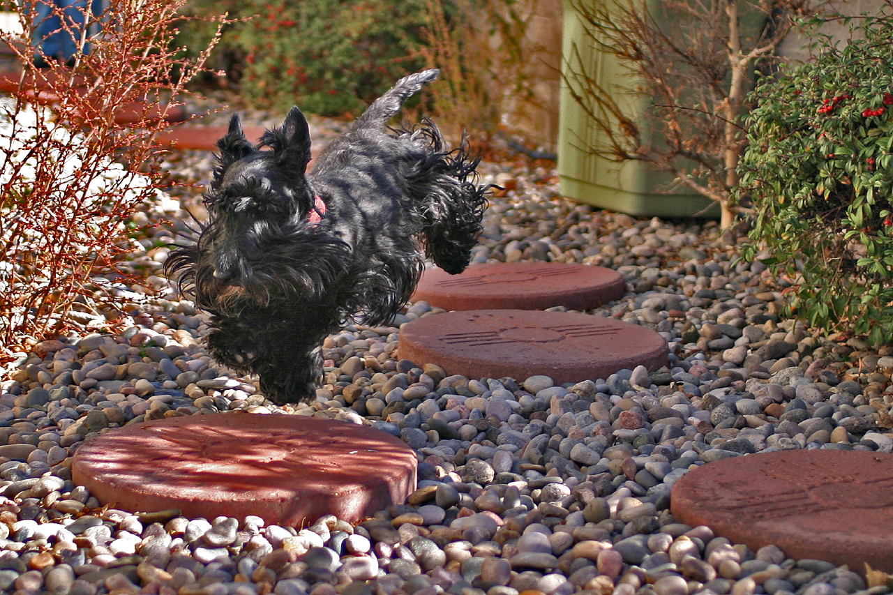 Gus hopping between stepping stones, March 2004