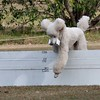 Retrieve of dummy over solid jump by standard poodle