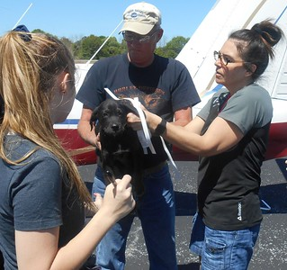 Putting collars on the pups from Clanton at Enterprise.