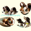Springer Spaniel Collage-Oval