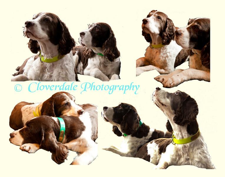 Springer Spaniel Collage-11x14