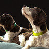 Springer Spaniels_2682_Background