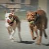 Running of the Bulls. Pitbulls, that is.
