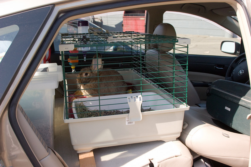 This is a picture of Almond as he traveled with us in the car from Sacramento to Austin.  He got the entire back of the Prius to himself...slightly limited by the walls of his cage.