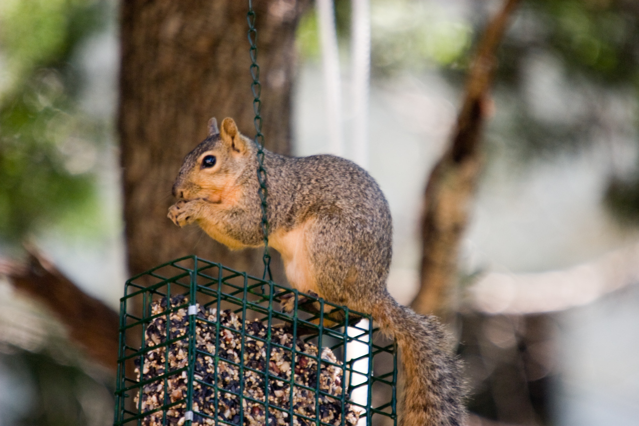 OK - this is obviously not Almond.  Just a friendly neighborhood visitor who cannot keeps his grubby paws out of the bird feeder (our backyard in Austin).