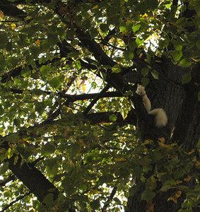 white  ()rare Albino) squirrel