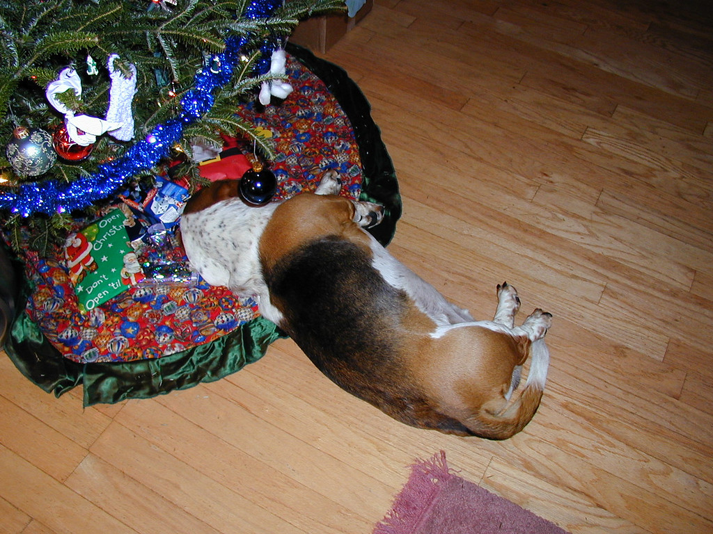 A basset under the Christmas tree in 1999.
