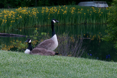A pair of Canada geese who come to the pond every spring and have for many years.  They seem to be the same pair as they are completely tame and seem to know us.