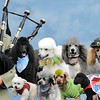 Poodle Day Parade 4x6 crop