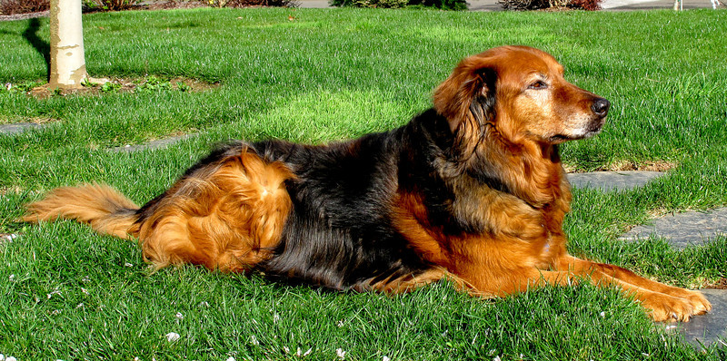 Cinnamon in the summer showing off her good dog behavior.