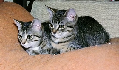 Cassie and Gus as kittens