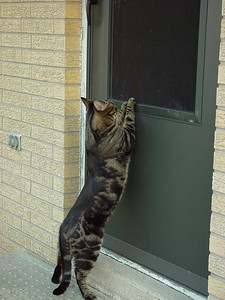 Big, brave cat -- until the door closes.