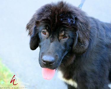 Nala, a 4 month old Newfoundland Hound ( sp? )