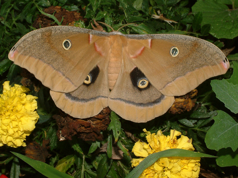 This brown luna moth was resting in our flower bed.   The 'dots' on its wings resemble a predator's eyes and wards the moth's natural enemies.