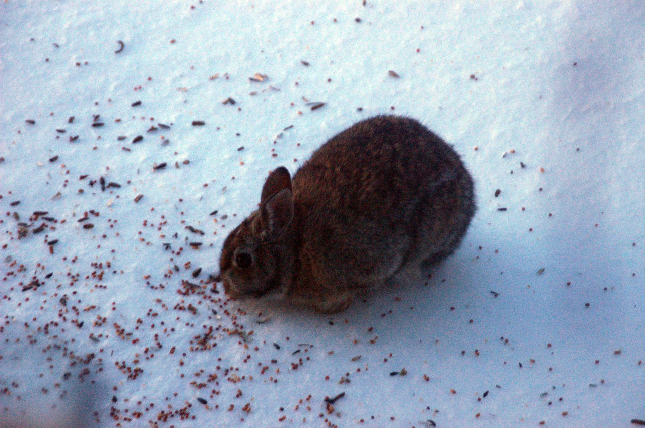 After the Blizzard of '07, this rabbit came to our bird feeder, looking for seeds that had been dropped.