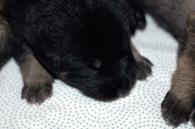 O litter pups at 13 days<br /> <br /> Males: blue, green & no collar pups<br /> Females: white, red, yellow & rainbow collar pups