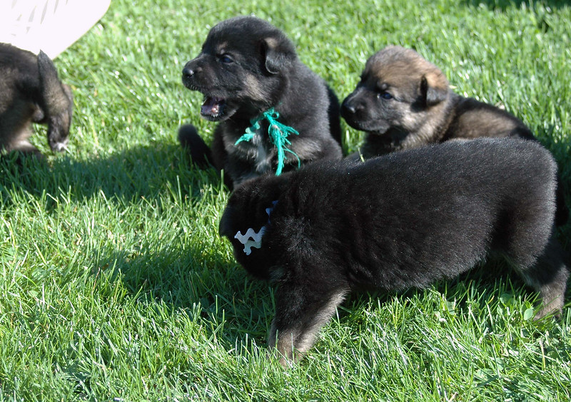 Green collar male, no collar male and rainbow girl in front (3 wks old)