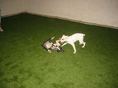 Bandid the JRT is also in Zigaboo's Puppy class.