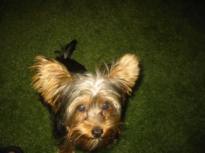Jake the Yorkie.  Hands down the coolest Yorkie ever.