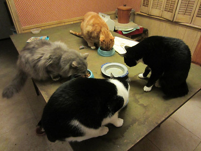 Cats Eating (Fluff, Pumpkin, Jet, Bruce)