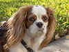 Molly, King Charles Cavalier