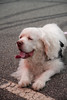 Monty the Clumber Spaniel