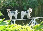 dogs on dog walk copy