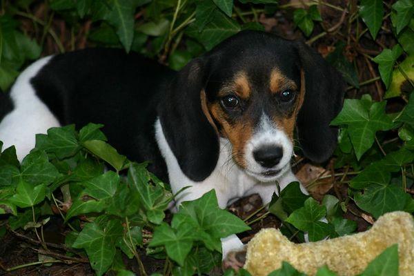 Our Beagle - Kadee.