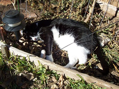 Hank soaks up some winter sun in the pepper garden.