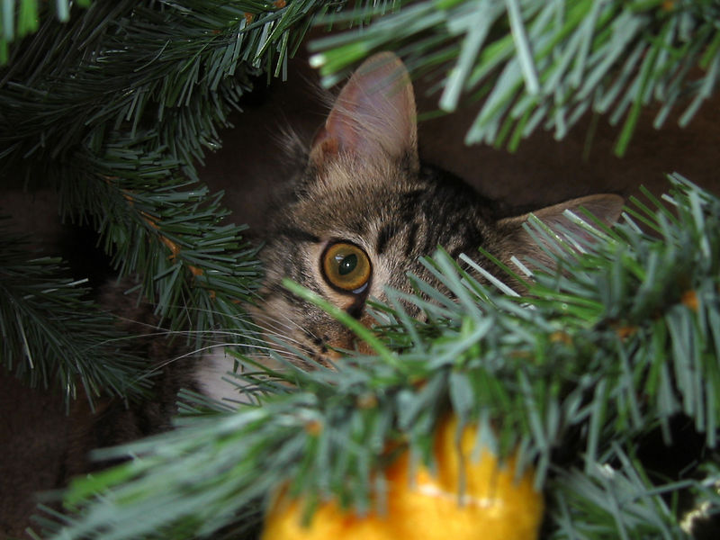Minnie is helping us decorate the Christmas tree.<br /> She is also helping us undecorate the tree. She climbed the tree this year several times.