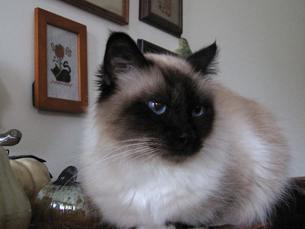 Zephyr, our Birman,  at five years (born on the 20th of March), is our oldest cat.<br /> He is a gentle guy and we can do about anything with him and not worry about getting scratched.<br /> We think of him as a big teddy bear.