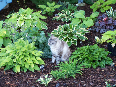 Hosta Kitty