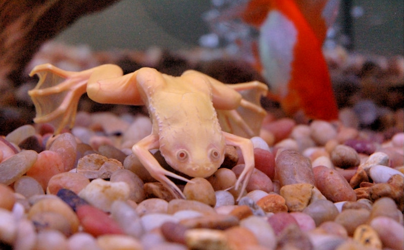 "This is ""the Empress"".  She is an Africian Albino Clawed Frog.  Where did her name come from you may ask?  Well, at first we thought ""she"" was a ""he"" and Xin made a comment about him being naked because he was without color.  This made me think if the Hans Christian Andersen story, ""The Emperor's New Clothes"".  Thus, we named him ""the Emperor"".  Later when we found out that ""he"" was actually a ""she"", we changed her name."