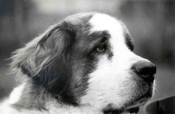 P-Nut, 8.5 year old Saint Bernard has left the Earth, August 30, 2005.  After two days of observing and attempting to resolve his being lethargic and just plain not interested in much, it was discovered that a very large tumor at the back of his throat was restricting breathing and making even opening his mouth very painful.  Other than the lethargy there were almost no other signs.  Surgery was truly not an option we were told, even though we wanted to believe it could be.  So shortly there after, around 10:30 a.m., P-Nut was kissed good bye.  This is P-Nut - 8 years old on May 2005, shortly after being yet another Bloat survivor.  April 4, 2005 he bloated (Gastric Dilatation-Volvulus) and spent 5 days at the University of Minnesota Small Animal Hospital, Emergency Veterinarian area.   The decision to go for surgery and not let him die was hard, but having him alive and loving again has to have been the only and truly correct decision.