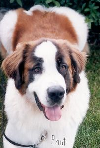 P-Nut, 8.5 year old Saint Bernard has left the Earth, August 30, 2005.  After two days of observing and attempting to resolve his being lethargic and just plain not interested in much, it was discovered that a very large tumor at the back of his throat was restricting breathing and making even opening his mouth very painful.  Other than the lethargy there were almost no other signs.  Surgery was truly not an option we were told, even though we wanted to believe it could be.  So shortly there after, around 10:30 a.m., P-Nut was kissed good bye.  This photo is of P-Nut during the summer of 1999, when he was young, clean, and trim.  He was also a Therapy Dog, with Pals on Paws.