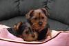 Our Yorkie babies - Sasha (Sassy) and Teddy Bear