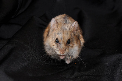 The last of the litter.....little Junior.  This was a difficult shot.  Hamsters are not still long.