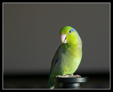 Our parrotlet, Mr. Kiwi